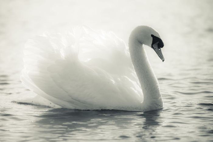 13874919 - graceful swan on a lake in black and white